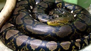 Титанобоа - Самая большая змея, жившая на Земле